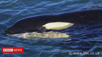 Baby orca, Toa, dies in New Zealand after failed search for mother