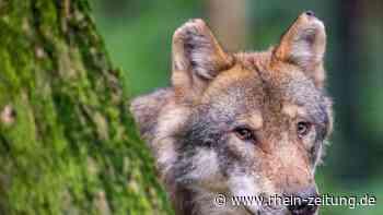 """Mit der """"Wolfs-App"""" können auch Goldschakale gemeldet werden - Rhein-Zeitung"""