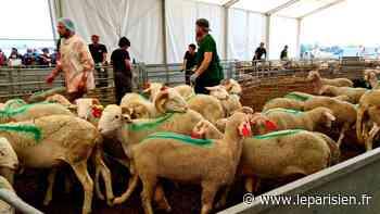 «Il y a beaucoup de demandes» : à Dugny, près de 3000 moutons abattus en trois jours pour l'Aïd - Le Parisien