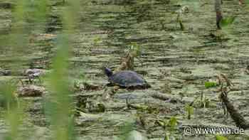 Schildkröte in Lippeauen in Hamm - Leserin fotografiert und wundert sich - Westfälischer Anzeiger
