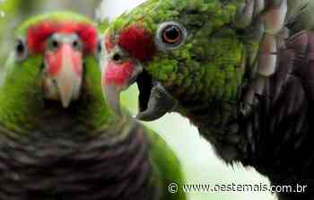 Oitava soltura de papagaios-de-peito-roxo será feita no Parque Nacional das Araucárias - Oeste Mais