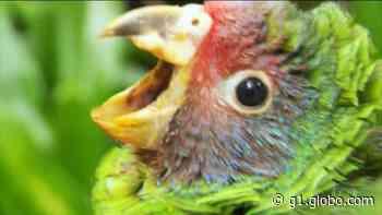 Pesquisadores monitoram ninhos de papagaios-de-cara-roxa para garantir reprodução da espécie - G1