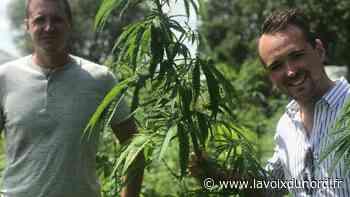 Laventie : deux petits-fils d'agriculteurs se lancent dans la culture du chanvre - La Voix du Nord