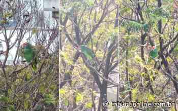 """Papagaio grita """"socorro"""" em árvore e mobiliza Bombeiros em Jardim da Penha - Tribuna Online"""