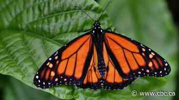 Montreal conservationists work to save vanishing Monarch butterflies from extinction - CBC.ca