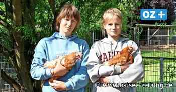 Ferienkinder in Seefeld kümmern sich um ausrangierte Legehennen - Ostsee Zeitung