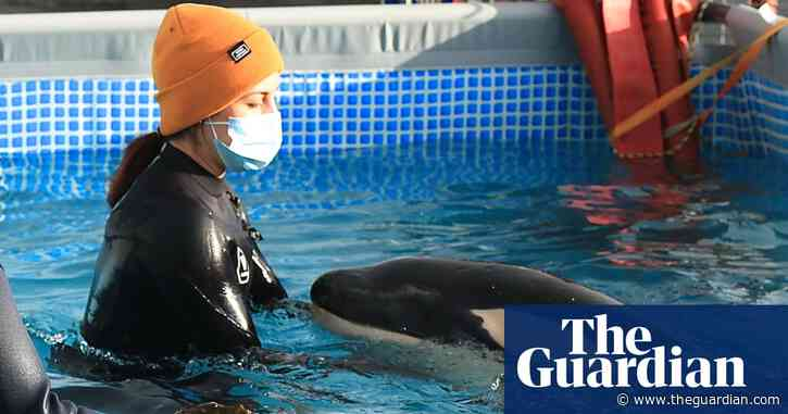 'Very saddened': Toa, the orphaned baby orca that enthralled New Zealand, is buried