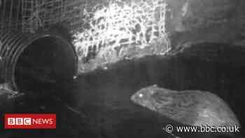 Railway engineers build beaver pass on Highland line