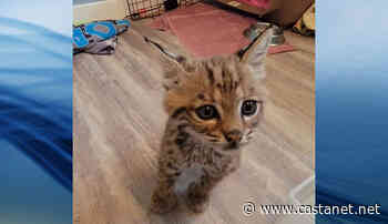 Orphaned bobcat found on the side of the road in Grand Forks recovering well with Critter Care - Penticton News - Castanet.net