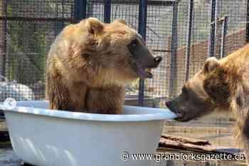 Tubthumping: Bears stay cool at BC Wildlife Park – Grand Forks Gazette - Grand Forks Gazette