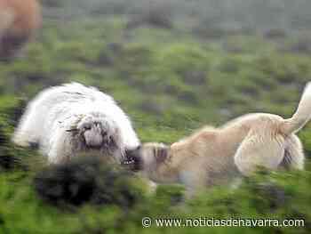 Bera denuncia ataques de perros a rebaños de ovejas - Noticias de Navarra