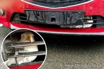 Seagull trapped behind car grille released in Hastings