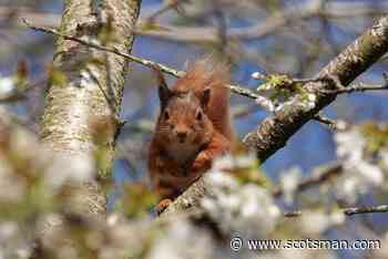 Scotland now loves once-persecuted red squirrels but what about the rest of nature? – Polly Pullar - The Scotsman