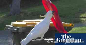 Cockatoos in Sydney learning from each other to bin-dive for food, study finds - The Guardian