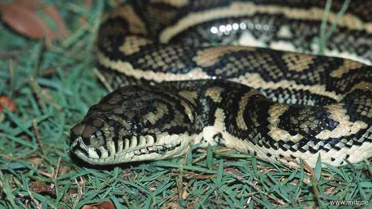 Riesenschlange: Polizei warnt vor ausgebüxter Python in oder um Haldensleben - MDR