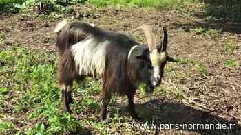 À Saint-Valery-en-Caux, des boucs pour éradiquer la berce du Caucase - Paris-Normandie