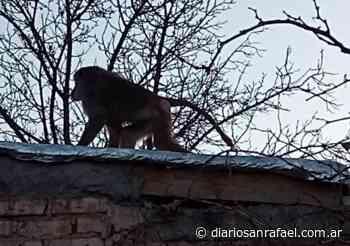 Video: apareció un mono suelto en Godoy Cruz - Diario San Rafael