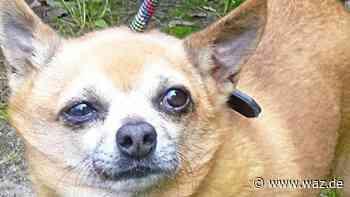 Ausgebüxt oder ausgesetzt? Chihuahua in Bottrop gefunden - Westdeutsche Allgemeine Zeitung