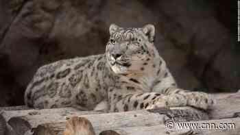 A rare snow leopard at the San Diego Zoo has tested positive for coronavirus - CNN