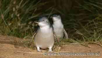 Penguin parade livestreams make a comeback - Armidale Express