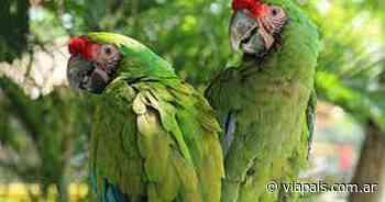 El Plan de Conservación del Guacamayo Verde se puso en marcha en Salta - Vía País