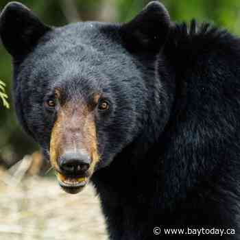 Prevent black bears from visiting your neighbourhood - BayToday.ca