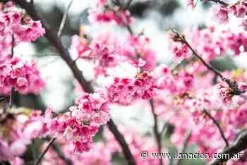 Fotogalería: florecen los cerezos y el Jardín Japonés de Buenos Aires es una fiesta de color y belleza - LA NACION