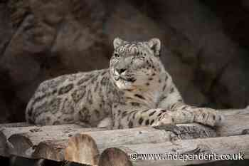 Unvaccinated snow leopard infected with Covid at San Diego zoo