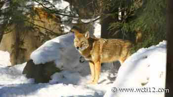 Coyote 'Barney,' one of oldest, most well-known animals at WNC Nature Center, passes away - WCTI12.com