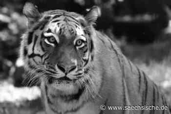 Hoyerswerda: Die Ära der Tiger im Zoo ist beendet - Sächsische.de