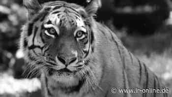 Zoo Hoyerswerda: Tiger-Dame Irina ist im Zoo Hoyerswerda gestorben - Lausitzer Rundschau