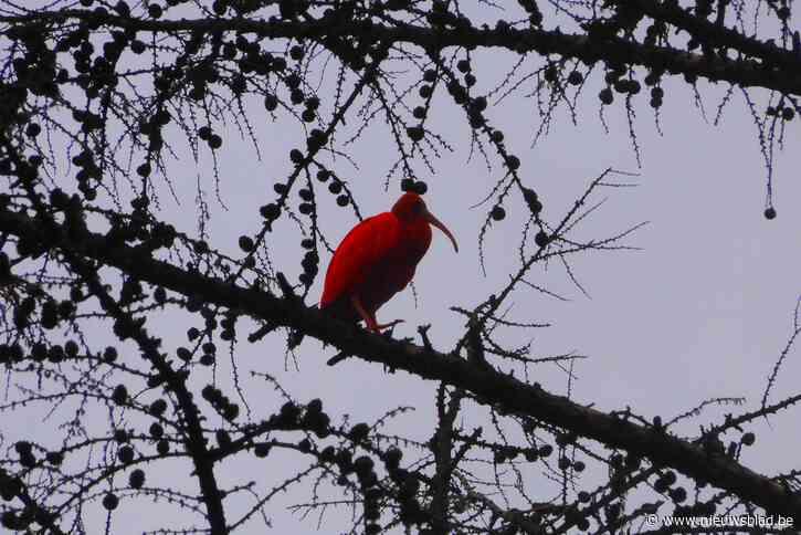 Rode ibis gespot in Liereman
