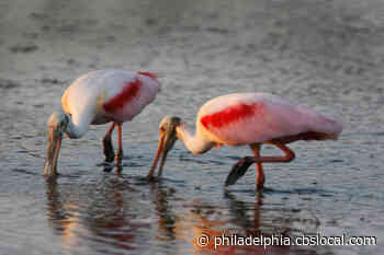 Photographer Catches Rare Roseate Spoonbills In Cumberland County - CBS Philly