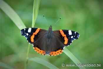 Atalanta blijft meest gespotte vlinder in Limburgse tuinen