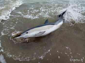 Saint-Brevin les Pins : un dauphin échoué sauvé par des saisonniers et les pompiers - actu.fr