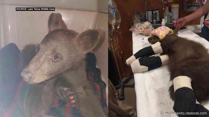 Bear Cub Injured In Tamarack Fire To Be Rehabilitated