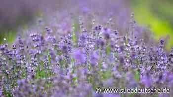 Ernte eines Lavendelfeldes: Etwas Provence in Oberbayern - Süddeutsche Zeitung