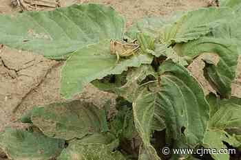 Grasshoppers swarm farm near Radville | 980 CJME - News Talk 980 CJME