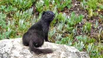 Rare black ground squirrel spotted in Banff alpine area