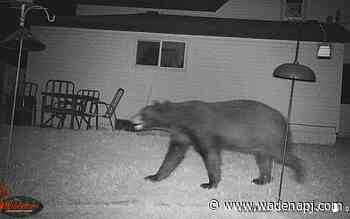 Police Blotter: Bear roaming about Wadena - Wadena Pioneer Journal