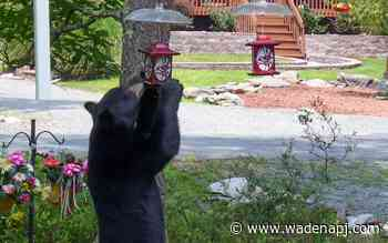Drought drives bears to search for food in Minnesota's north woods - Wadena Pioneer Journal