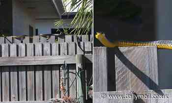 Fangs for nothing: Shocking moment a huge green snake is spotted slithering along a backyard fence