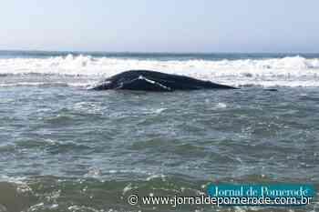 Baleia é encontrada morta na Praia do Ervino - Jornal de Pomerode