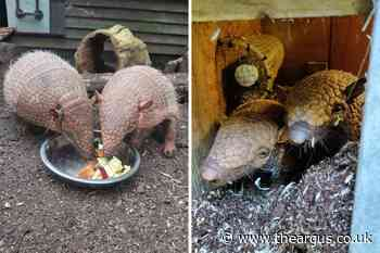 Two 'absolutely fabulous' armadillos join Drusillas Park