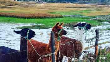 Ovejas y llamas de la Sierra, un destino con animales exóticos y paisajes con escarcha - Guatemala.com