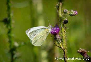 Waldlichtung bei Niedernberg ist ein Schmetterlings-Paradies - Main-Echo