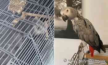 Sky the man-hating parrot who squawks 'come on' before she bites their fingers is returned to owners