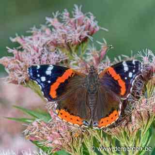 Waarom is 2021 zo'n apart jaar voor vlinders? 'Vlinders hebben nectar nodig om bij te tanken'