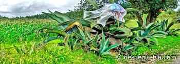 Producción de pulque continúa siendo pilar económico para familias de la Sierra Norte de Puebla - desdepuebla.com - DesdePuebla