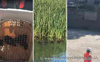 Blackburn: Six ducklings rescued from 'smelly' sewage